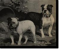 ras oud engelse bulldog