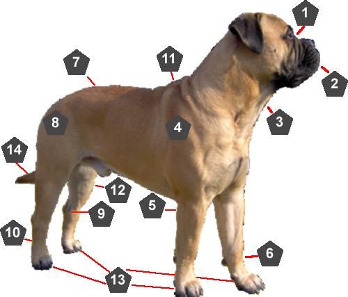 Anatomie Bullmastiff hond